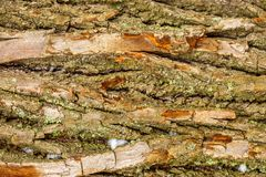 Écorce d'arbre en gros plan, la texture de l'écorce d'arbre photos stock