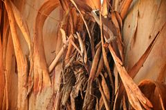 Écorce d'arbre d'eucalyptus Photographie stock