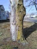 Écorce d'arbre inextricable et ébréchée de deux tons avec des maisons à l'arrière-plan photographie stock