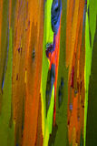 Écorce d'arbre peinte d'eucalyptus Photos stock