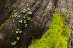 Écorce d'arbre, une vigne et mousse Photo stock
