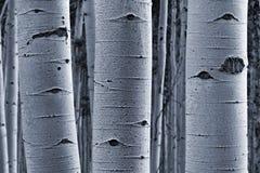 Écorce d'Aspen photos stock