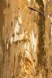 Écorce d'eucalyptus Image libre de droits