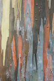 Écorce d'eucalyptus Photographie stock
