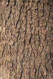 Écorce d'olivier Photographie stock libre de droits