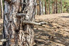 Écorce d'un arbre avec des troncs d'éléments, de mousse et de pin de lichen en gros plan photo stock