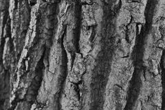 Écorce d'un arbre dans le monochrome Photo stock