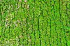 Écorce d'un arbre et d'une mousse verte sur un tronc Photographie stock libre de droits