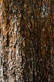 Écorce d'un arbre jauni antique et puissant images stock