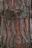 Écorce d'un pin Image libre de droits