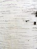 Écorce de bouleau Image libre de droits