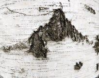 Écorce de bouleau Photographie stock
