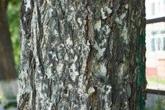 Écorce de bouleau Image stock