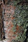 Écorce de bouleau couverte de la mousse photo stock