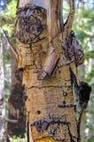 Écorce de bouleau le long des traînées la réserve forestière de montagnes de ressort, Mt Charleston, Nevada image stock