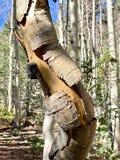 Écorce de bouleau le long des traînées la réserve forestière de montagnes de ressort, Mt Charleston, Nevada photos stock