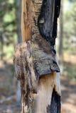 Écorce de bouleau le long des traînées la réserve forestière de montagnes de ressort, Mt Charleston, Nevada photographie stock libre de droits