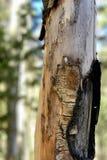 Écorce de bouleau le long des traînées la réserve forestière de montagnes de ressort, Mt Charleston, Nevada images stock