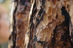 Écorce de Brown de pin Photo stock