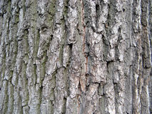 Écorce de chêne Images stock