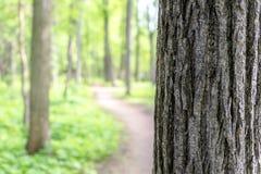 Écorce de chêne contre le bois indistinct avec un sentier piéton Photos libres de droits