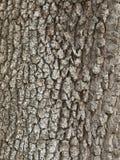 Écorce de chêne de Garry Photos libres de droits