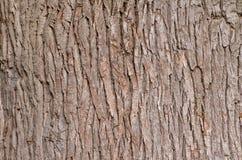 Écorce de chêne Texture Fin vers le haut Photographie stock libre de droits
