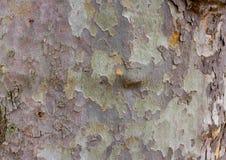 Écorce de couleur d'arbre de sycomore Détails militaires verts en bois de platanus de fond Photo stock