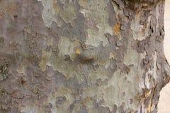 Écorce de couleur d'arbre de sycomore Détails militaires verts en bois de platanus de fond Photos stock