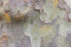 Écorce de couleur d'arbre de sycomore Détails militaires verts en bois de platanus de fond Image stock