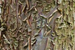Écorce de Cypress Photographie stock