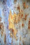 Écorce de gomme de Scribbly d'Australien Photographie stock libre de droits