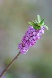 Écorce de loup de fleurs Daphne la Floride en premier ressort photographie stock libre de droits