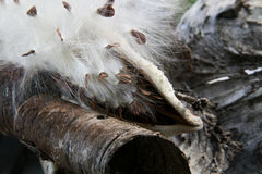 Écorce de Milkweed et de bouleau Image stock