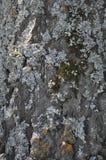 Écorce de peuplier couverte de lichen Photos libres de droits
