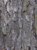 Écorce de pin image libre de droits