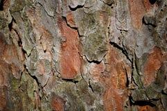 Écorce de pin Photographie stock libre de droits