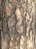 Écorce de pin Images libres de droits