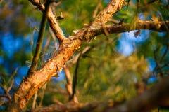 Écorce de pin couvrant la grande branche Lumière du soleil parmi des arbres Photo libre de droits