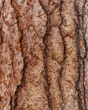 Écorce de pin de Ponderosa Photos stock