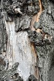 Écorce de pin Écorce de pin de texture Fond d'écorce de pin pin Arbre b Photographie stock libre de droits