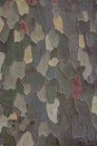 Écorce de sycomore américain (occidentalis de Platanus) Photographie stock libre de droits
