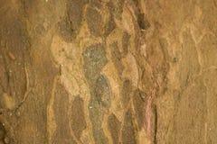 Écorce de sycomore, texture en bois image libre de droits