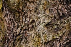 Écorce de texture d'un arbre à feuilles caduques Images stock