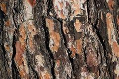 Écorce de tronc de pin Photo libre de droits