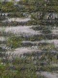 Écorce de vieille cerise (avium de Cerasus) avec des mousses Photographie stock