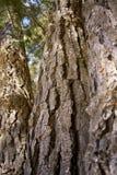 Écorce de vieux pins Image libre de droits