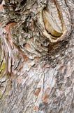 Écorce en bois abstraite de texture, arbre de cyprès image libre de droits
