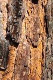 Écorce ensoleillée d'un pin Photographie stock libre de droits