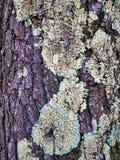Écorce et lichen d'un arbre photos stock